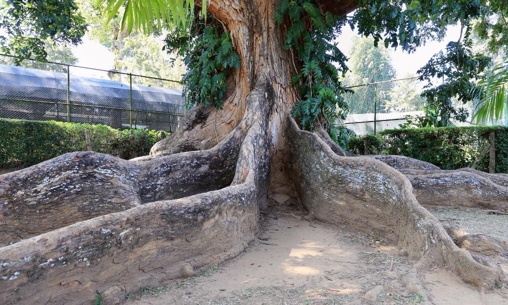 A mahogany tree