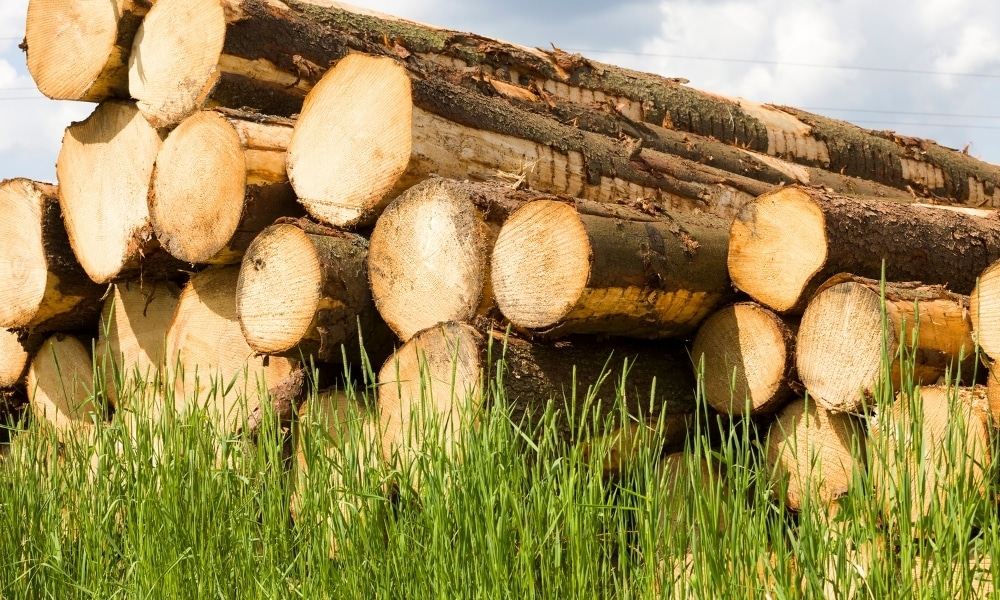 Harvested softwood
