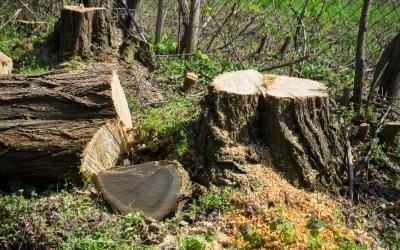 Cut acacia wood slump 1