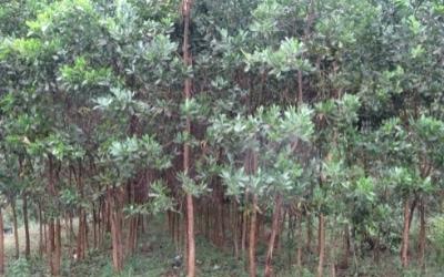 Small and growing acacia trees